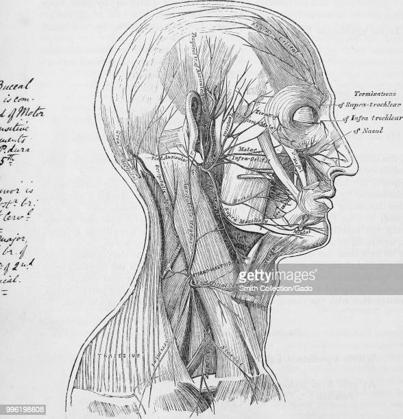 Neck Nerves Stock Photos and Pictures | Getty Images