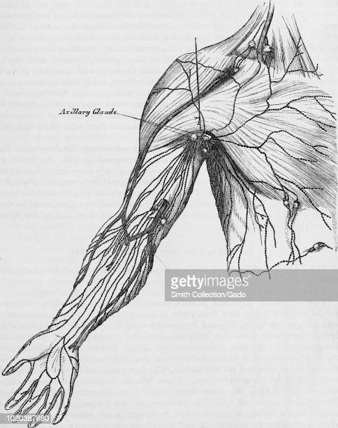 Black and white print of a human arm armpit and partial view of the torso with a line indicating the axillary lymph nodes or armpit lymph nodes...