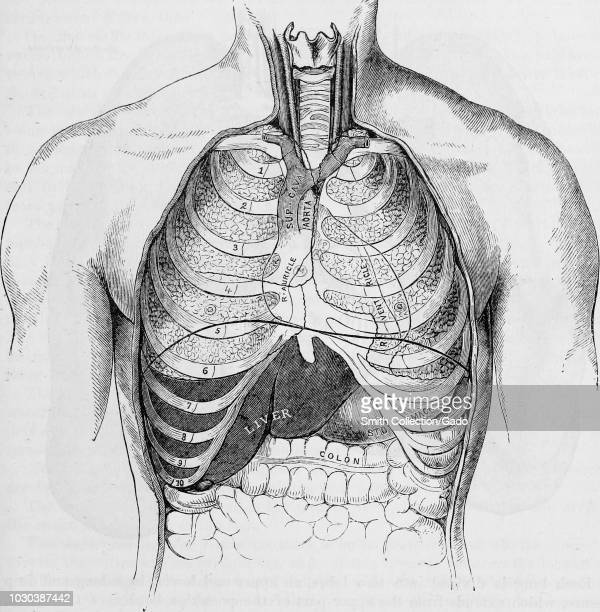 Human Rib Cage Stock Photos And Pictures Getty Images