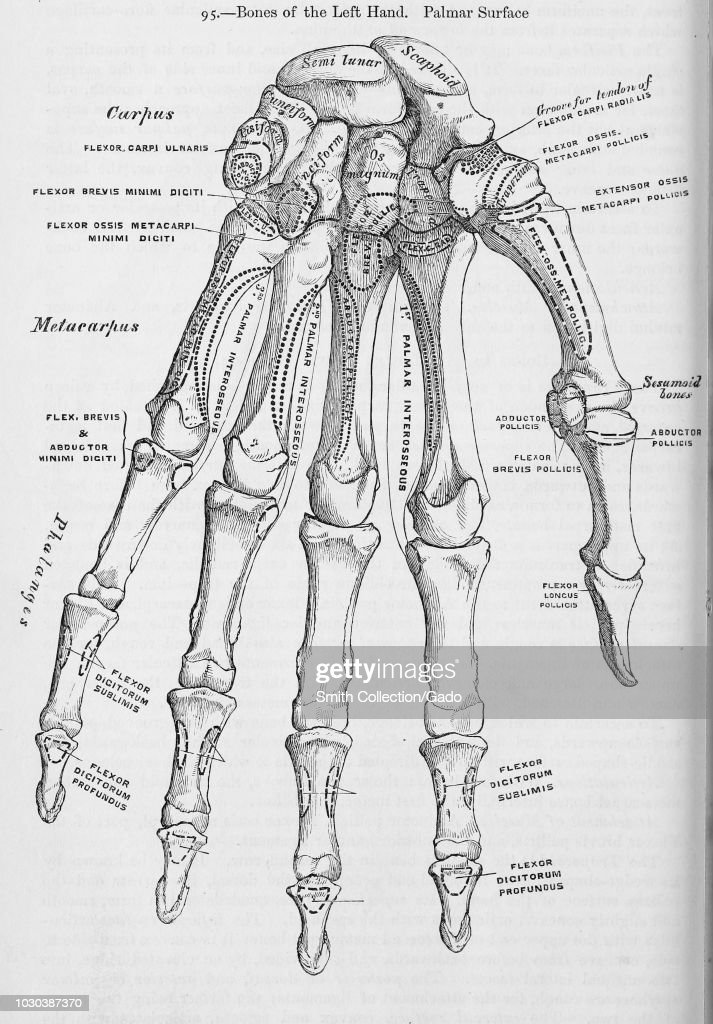 Black And White Print Showing The Bones In A Human Left Hand On The