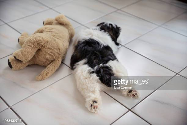 black and white puppy lying on a tiled floor next to stuffed toy comforter - hairy bum stock pictures, royalty-free photos & images