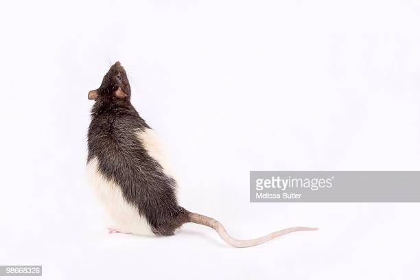 black and white rat - mammal stock pictures, royalty-free photos & images