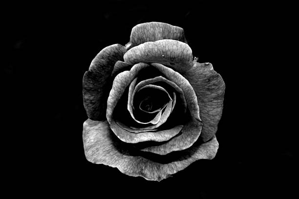 Free black and white flower images pictures and royalty free stock black and white rose mightylinksfo