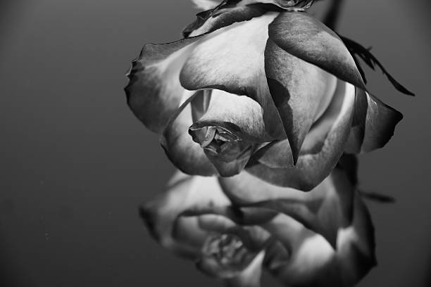 Free Black And White Roses Images Pictures And Royalty Free Stock