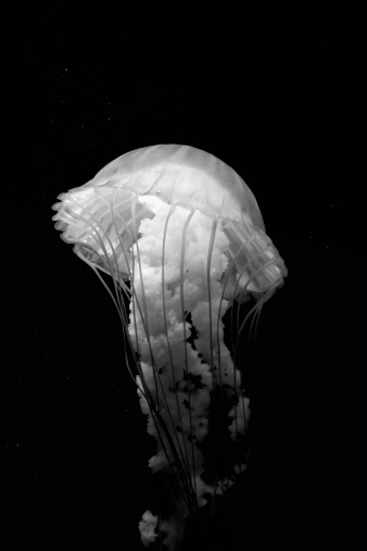 Black and White Sea Nettle 172270375