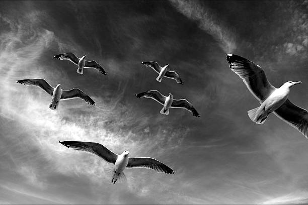 Black and white seagulls flying