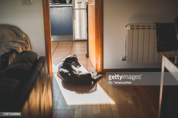 black and white senior dog having a sunbath lying down in a square of sun in the floor - lying down stock pictures, royalty-free photos & images