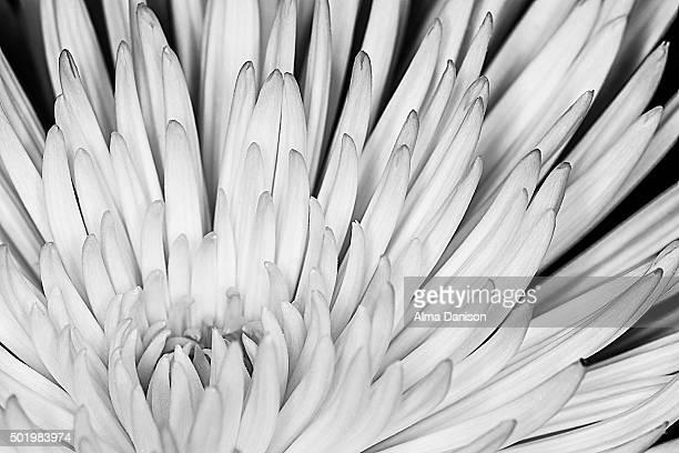 black and white shot of white dahlia flower - alma danison fotografías e imágenes de stock