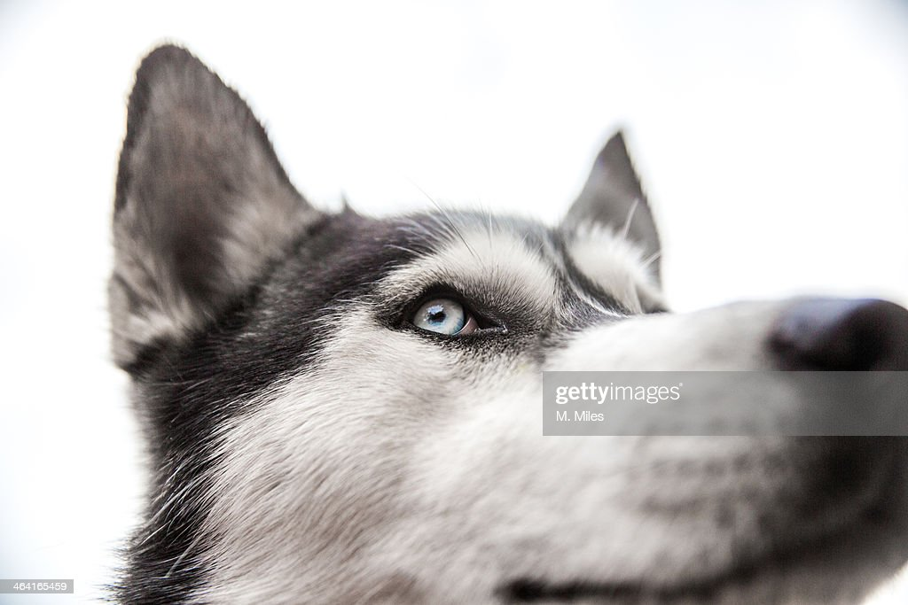 Black and white Siberian Husky dog face : Stock Photo
