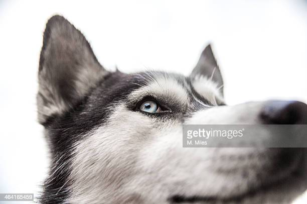 Black and white Siberian Husky dog face