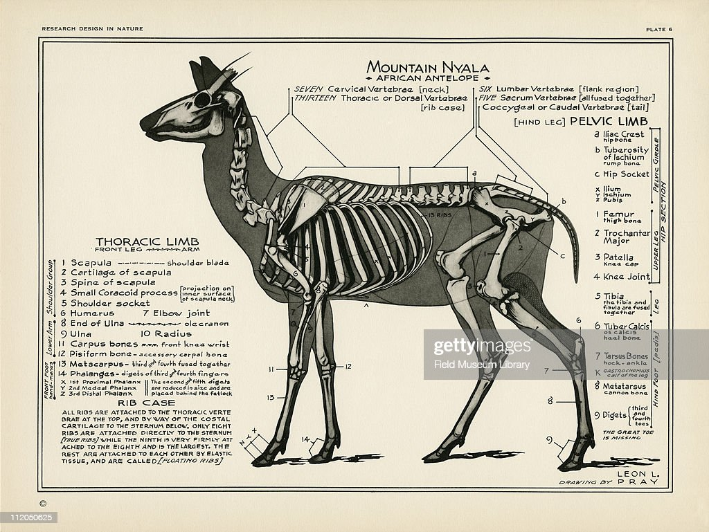 Anatomy Of African Antelope Pictures | Getty Images