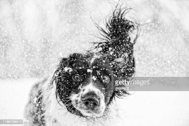 black and white springer spaniel dog in the snow - humour stock pictures, royalty-free photos & images