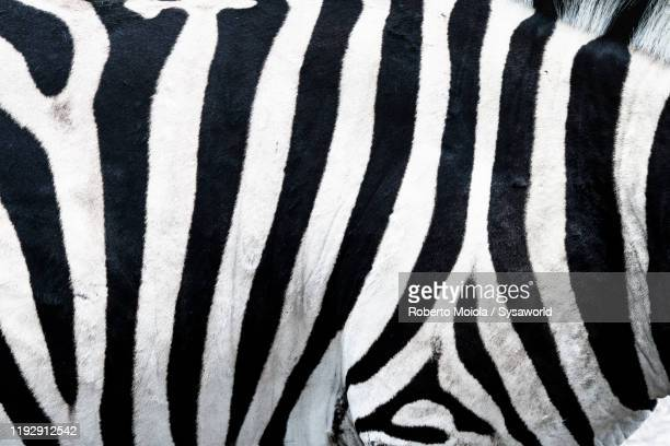 black and white stripes of african zebra, mauritius island, africa - white stripes stock pictures, royalty-free photos & images