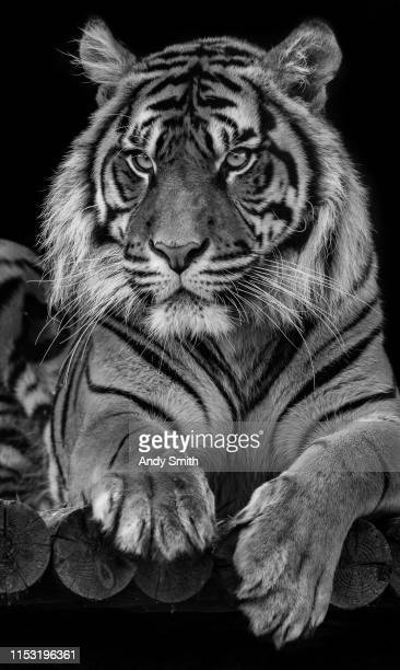 black and white sumatran tiger - big cat stock pictures, royalty-free photos & images