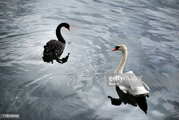 black and white swans - swan stock pictures, royalty-free photos & images
