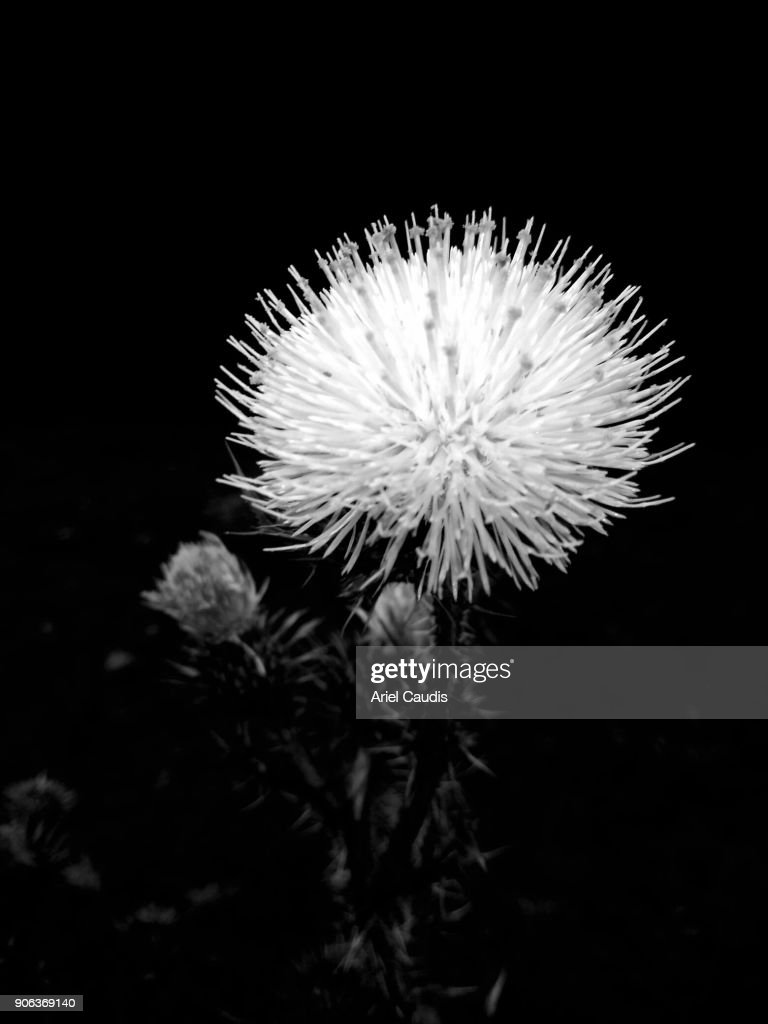 Black and white thistle stock photo getty images black and white thistle stock photo mightylinksfo