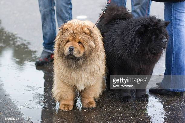 black and white: two chow-chow - chow dog stock pictures, royalty-free photos & images