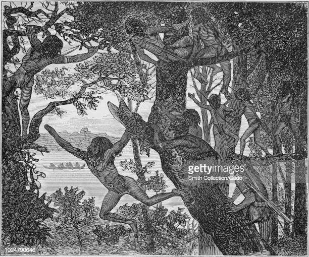 Black and white vintage print depicting a group of Papuan men brachiating or using their arms to swing from branch to branch while commuting through...