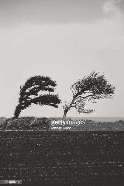 Black and white windblown trees leaning in field