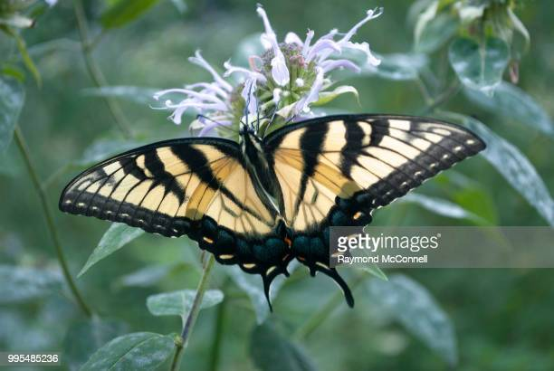 black and yellow butterfly - mcconnell stock pictures, royalty-free photos & images