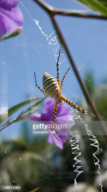 Black and Yellow Garden Spider (Argiope aurantia) on a web
