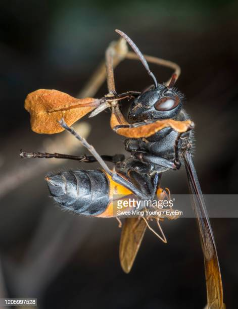 black and yellow hornet - asian hornet stock pictures, royalty-free photos & images