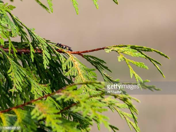 black and yellow mud dauber - mud dauber wasp stock pictures, royalty-free photos & images