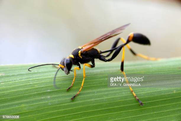 Black and yellow mud dauber Sphecidae Ecomuseum Adda di Leonardo Lombardy Italy