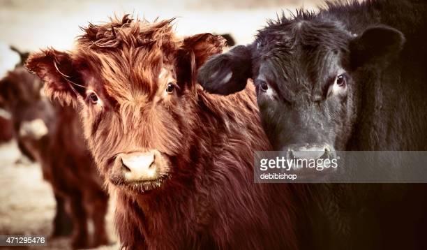 Black Angus bull and cow looking at camera