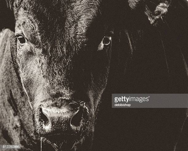 black angus bull head & face closeup black & white - bull animal stock photos and pictures
