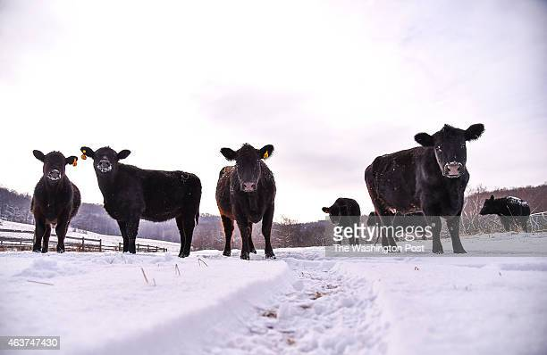Black Angus cattle are seen in the snow at a farm on February 17 2015 in Myersville Md