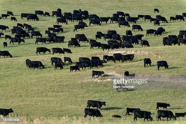 Black Angus cattle herd on prairie