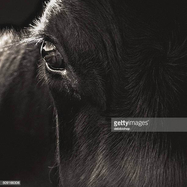 Black Angus Cow Face Closeup