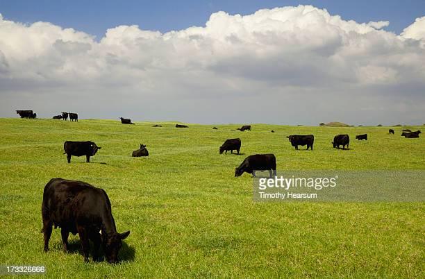 black angus cows grazing in open pasture - timothy hearsum stock-fotos und bilder