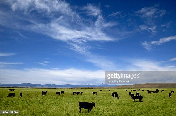 Black angus cows grazing in pasture