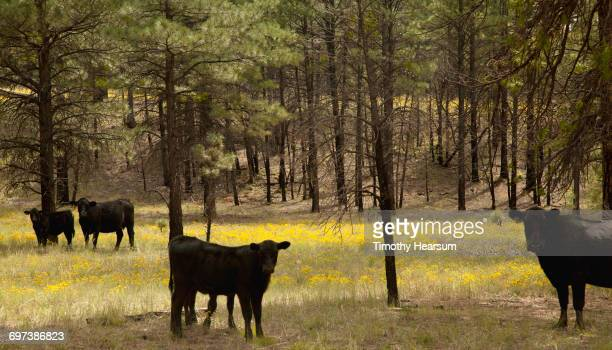 black angus cows in national forest land - timothy hearsum ストックフォトと画像