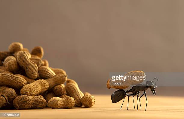 Black ant carrying peanut on back