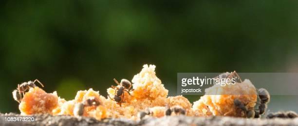 Black ants eating brown sugar outdoors