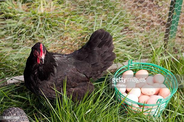 Black Australorp Hen with Eggs