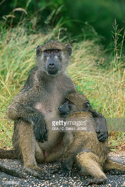 Black baboon with baby Kruger National Park South Africa