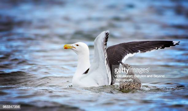 Black Backed Gull and Chick in the Great South Bay, Long Island, NY