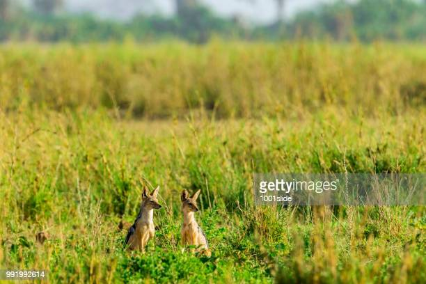 black backed jackal at wild in amboseli national park - wild dog stock pictures, royalty-free photos & images