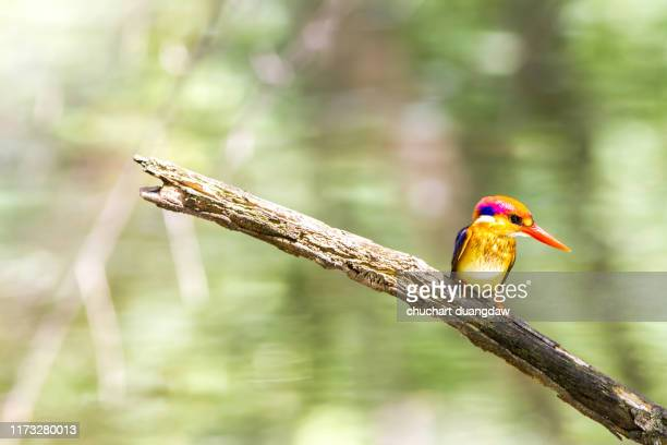 black backed kingfisher (oriental dwarf kingfisher) or  three-toed kingfisher - black dwarf stock pictures, royalty-free photos & images