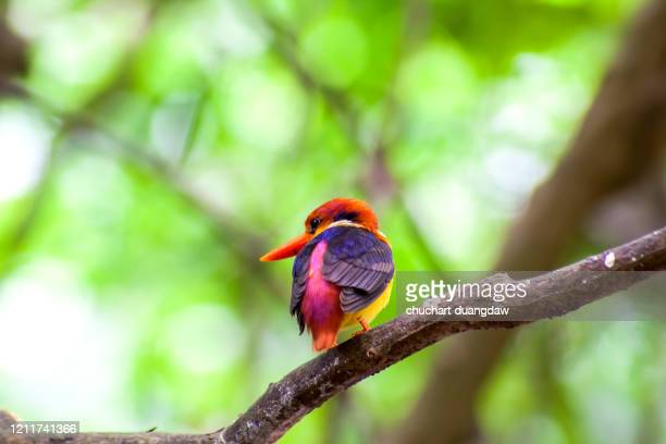 black backed kingfisher (oriental dwarf kingfisher) - black dwarf stock pictures, royalty-free photos & images