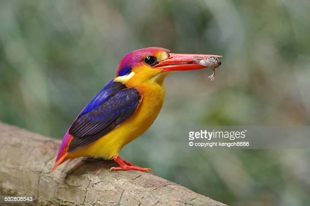 Black Backed Kingfisher