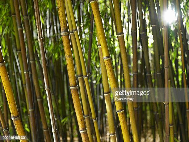 Black bamboo (Phyllostachys nigra) grove
