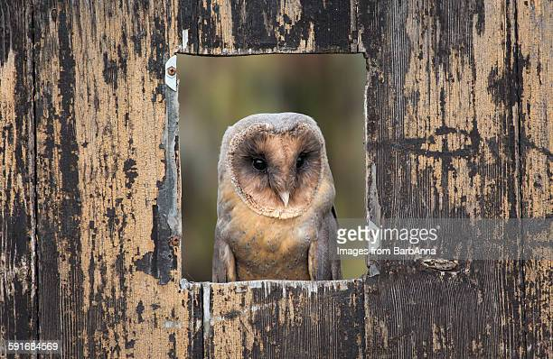 black barn owl (melanistic) - barn owl stock pictures, royalty-free photos & images