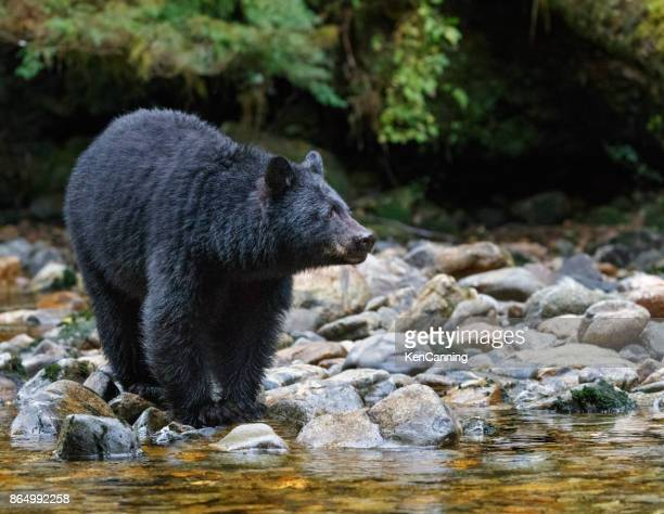 Black Bear Along A Stream in Canada's Great Bear Rainforest