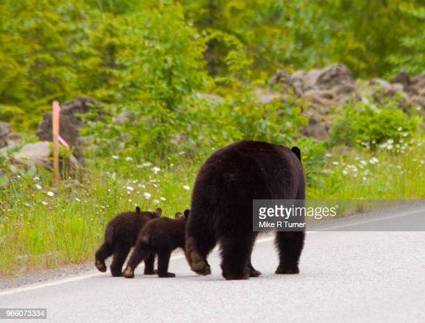 black bear and cubs walking away. - black bear stock pictures, royalty-free photos & images