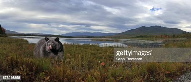 Black Bear at Cherry Pond